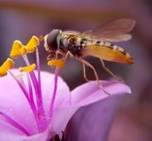 Wasp. On a flower pink eat pollen Royalty Free Stock Image