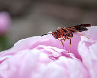 Wasp on the flower Royalty Free Stock Image