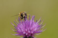 Wasp on flower Royalty Free Stock Images