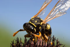 A wasp on a flower of rudbeckia Stock Photos