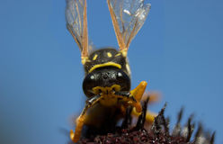 A wasp on a flower of rudbeckia Stock Photography