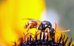 A wasp on flower of rudbeckia Stock Images