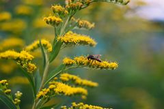 Wasp on a flower Stock Photography