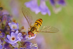 Wasp on the flower Royalty Free Stock Photo