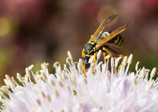 Wasp on a flower. The wasp of the white flowers. Small depth of sharpness Stock Photo