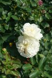 Wasp on flower of white rose. Wasp on flower of white garden rose Stock Photography