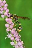 Wasp on flowering tamarisk Royalty Free Stock Photo