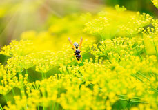 Wasp on flowers of dill Royalty Free Stock Photo