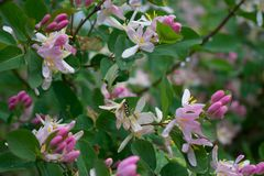 Lonicera korolkowii / honeysuckle /wasp on flowers stock images