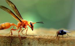 Wasp and fly closeup Royalty Free Stock Image