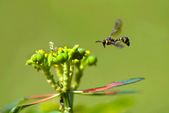 Wasp flying. For foraging Royalty Free Stock Image