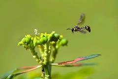 Wasp flying Royalty Free Stock Image