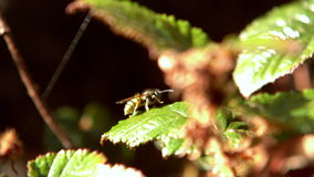 Wasp flying off a leaf Royalty Free Stock Photos