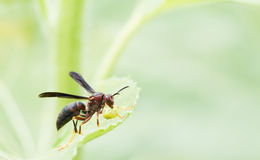 Wasp with food close up Stock Photos