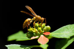 Wasp foraging. On the plant Royalty Free Stock Photos