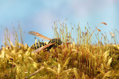 Wasp in forest on fresh green lush moss. Macro Royalty Free Stock Image