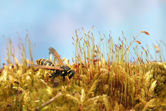 Wasp in forest on fresh green lush moss. Macro. Wasp in the forest on fresh green lush moss. Macro Royalty Free Stock Photography