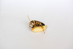 Wasp Royalty Free Stock Image