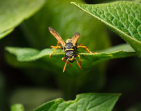 Wasp in garden Stock Images