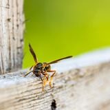 Wasp gathering material for hive royalty free stock image