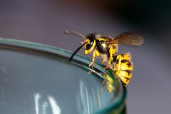 Wasp on a glass - danger in the summer royalty free stock images