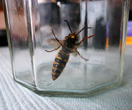Wasp in glass jar. A large wasp trapped in a glass jar Stock Photos