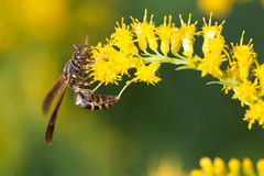 Wasp on Goldenrod Stock Photo
