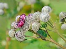 Wasp on Great Burdock. (Arctium lappa) plant Stock Photos