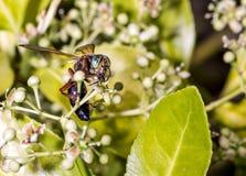 Wasp on a green bush Royalty Free Stock Photo