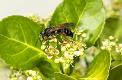 Wasp on a green bush Stock Photo