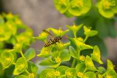 Wasp. On a green leaf Royalty Free Stock Images