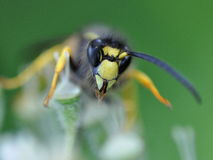 Wasp in the green Stock Photos