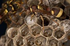Wasp and Grub Stock Photo