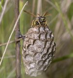 Wasp guarding its nest, combs, stock photo