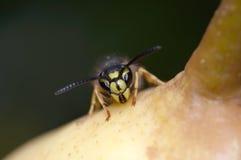 Wasp - gult omslag arkivbild