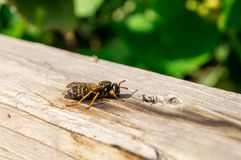 Wasp has a rest. The wasp has a rest in summer beams Stock Photography