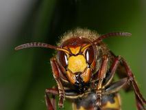 Wasp head. Head of a giant wasp stock photos