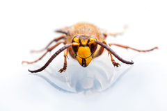 Wasp head on white Royalty Free Stock Image