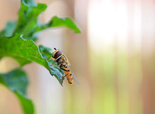 Wasp on the herb Royalty Free Stock Image