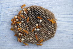 Wasp Hive background Royalty Free Stock Photo