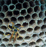 Wasp on hive Stock Image