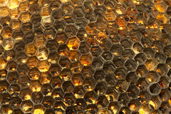 Wasp Hive Close Up. Wasp Hive chambers seen with backlight illumination Royalty Free Stock Image