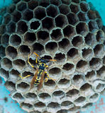 Wasp on hive Royalty Free Stock Photography