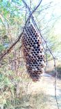 Wasp hive ona tre outdoor in nature. Abandoned wasp hive after natural disasters Stock Images