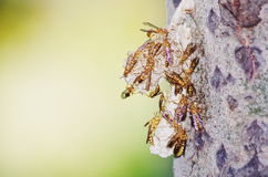 Wasp hive. A wasp hive on a trunk of poplar Royalty Free Stock Images