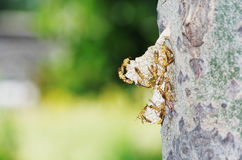 Wasp hive. A wasp hive on a trunk of poplar Royalty Free Stock Photography