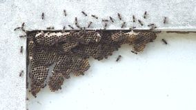 Wasp hive on the wall stock video