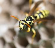 A wasp for hives in nature Royalty Free Stock Image