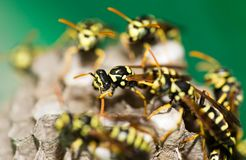 A wasp for hives in nature Stock Photography