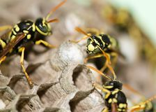 A wasp for hives in nature Royalty Free Stock Photo